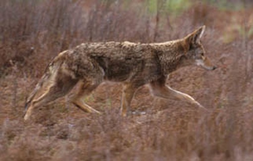 Coyote. Photo: Jeffrey St. Clair